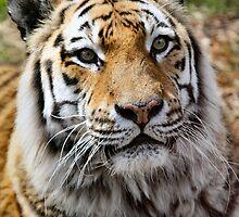 Amur Tiger Portrait by Stormbringer