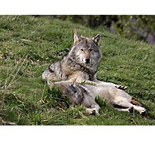 Timber Wolves at Rest Photographic Print