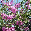 Lavatera cachemiriana by Philip Mitchell