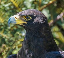 Verreaux's Eagle - Aquila verreauxii (Black Eagle) by Deborah V Townsend