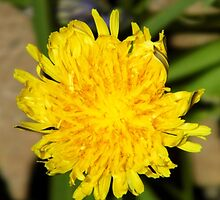 Unusual Dandelion by LoneAngel