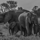 Elephant Family of Four by Deborah V Townsend