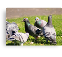 Pigeons in the park II Canvas Print