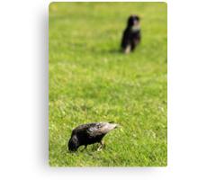 Foraging Starlings Canvas Print