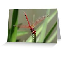 Beautiful Red Skimmer or Firecracker Dragonfly Greeting Card