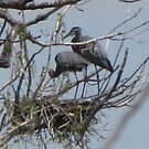 Great Blue Heron Nest by janetmarston