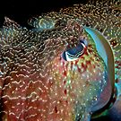 Giant Cuttlefish by Melissa Fiene