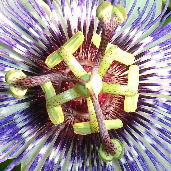 Close Up of The Centre Of a Passiflora Flower by taiche