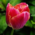 Tulip Time b by Janone
