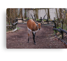Gazelle taking the visitors way Canvas Print