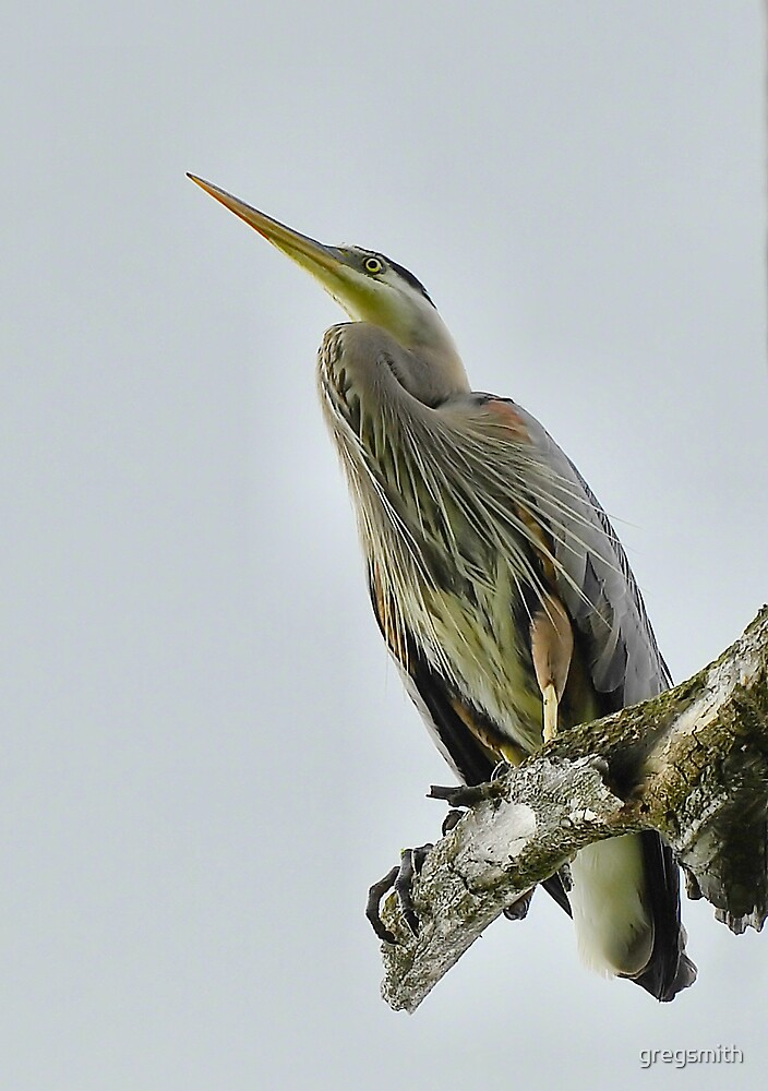 Blue Heron perched by gregsmith