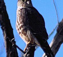 Brooklyn Falcon III by BOLLA67