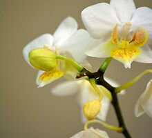 Pretty white orchid flowers in brown background.  Indoor floral plant photography. by naturematters