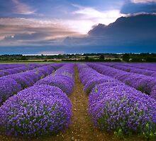 Lavender Field in Heacham, England by Yen Baet