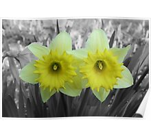 Yellow Daffodils on Black and White Poster