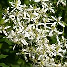 White Wild Flowers by Daniela Weil