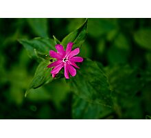 Wild Flowers - Red Campion Photographic Print