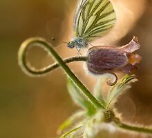 Morning impression with pasque flower and small butterfly by JBlaminsky