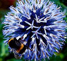 Echinops ritro and Bee by IanHuxtable