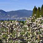 Apple Blossoms in The Okanagan by Judy Grant