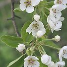 Pear Blossoms by Karen K Smith