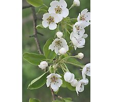 Pear Blossoms Photographic Print