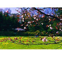 Sakura (2) Photographic Print