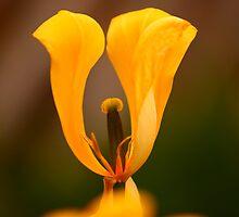 Undressed Tulip by Brian Dodd