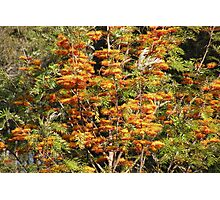 In all it's glory ... Grevillea robusta Photographic Print