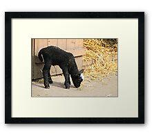 Baaaa Baaa Black Sheep Framed Print