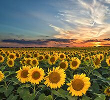 Texas Sunflowers at Sunset by Tod and Cynthia Grubbs