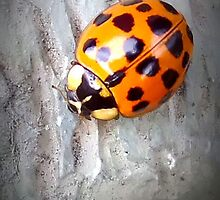 Ladybug by Sheri Nye