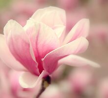 Magnolia Blossom by Jessica Jenney
