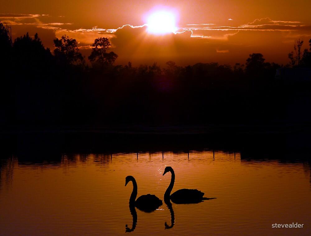 Two Black Swans by stevealder