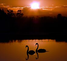 Two Black Swans by stevealder