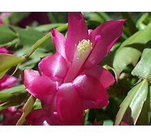 Pink Zygocactus II Photographic Print