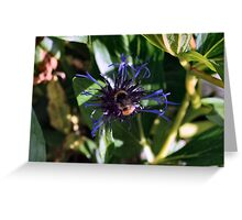 Bee on the Cornflower Greeting Card
