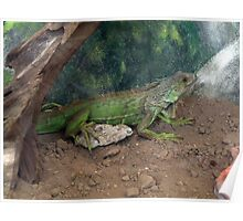 Iguana .... Poster
