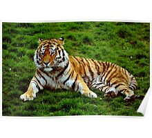 Special Siberian Tiger