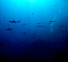 Blacktip & Whitetip Reef Sharks by Melissa Fiene