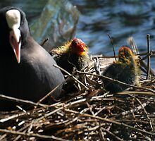 coot chick by clive watts