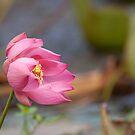 Waterlilly Snubbery by Janine  Hewlett
