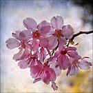 Sakura by Lydia Marano