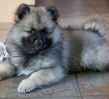Loud Keeshond by welovethedogs