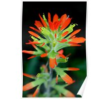 Indian Paintbrush in Bloom Poster