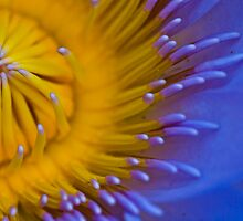 Up Close and Very Personal - Water Lily - Cairns Botanical Gardens - Queensland - Australia by Paul Davis