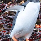 Gentoo Penguin by Jotman