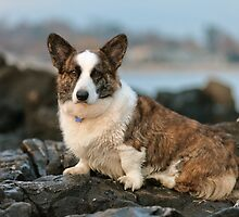 Special Welsh Corgi (Cardigan)