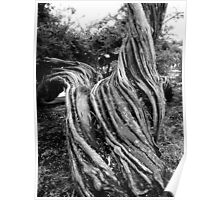 Gnarled Tree #1 - Black and White Poster