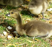 Young Canadian Gosling 1 by davesphotographics